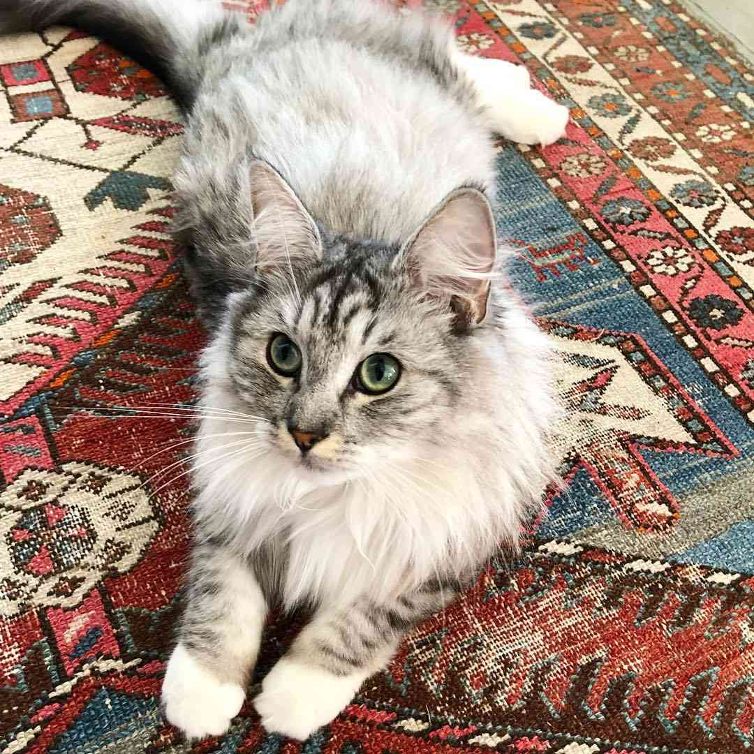 A Norwegian Forest cat with green eyes on a Persian rug