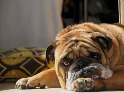 What to Do if Your Dog Is Shaking, Shivering, or Trembling