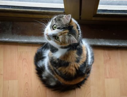 Portrait Of Tortoiseshell Cat Sitting By Door At Home