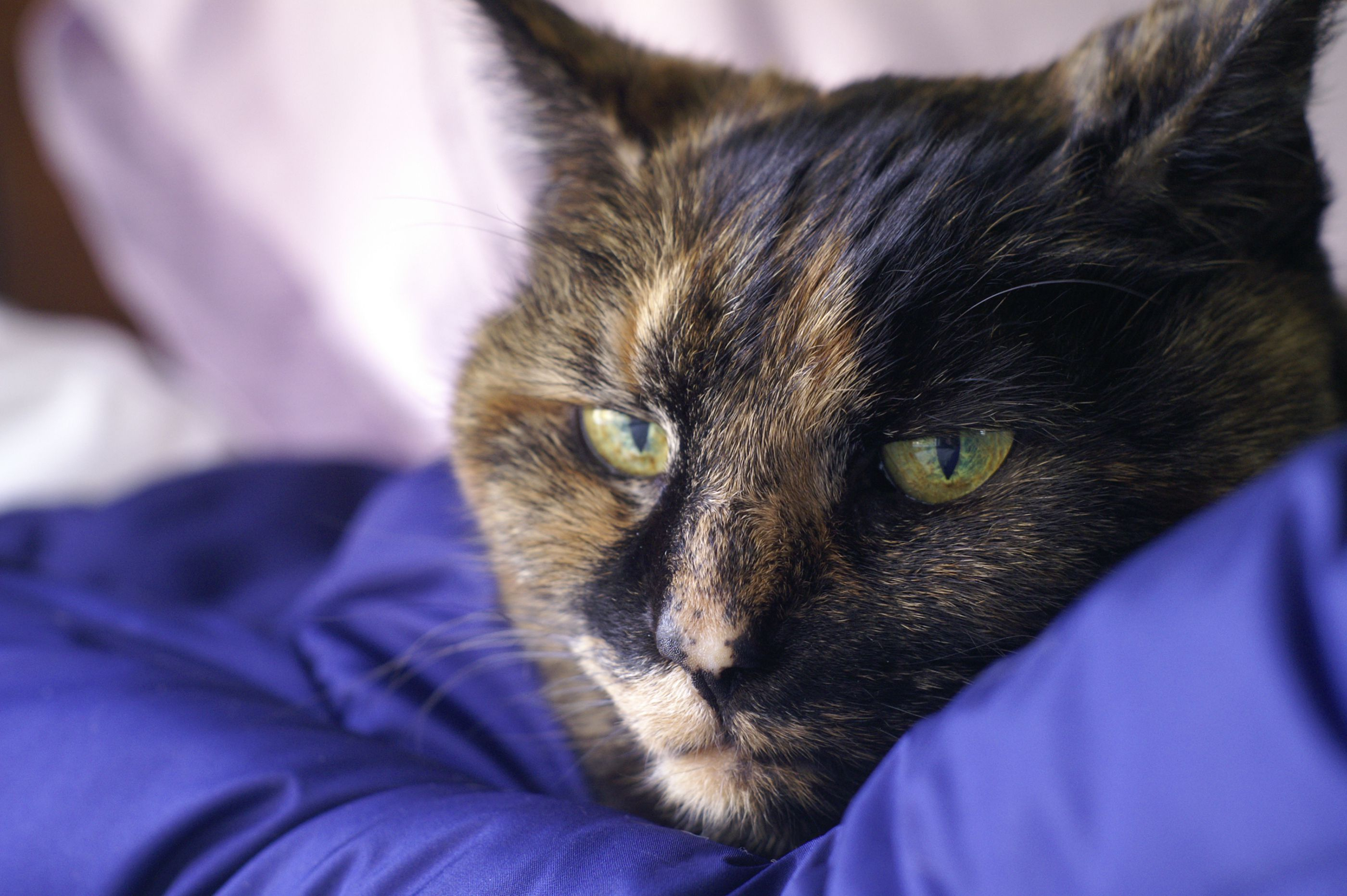 Symptoms and Treatment of Acute Vomiting in Cats