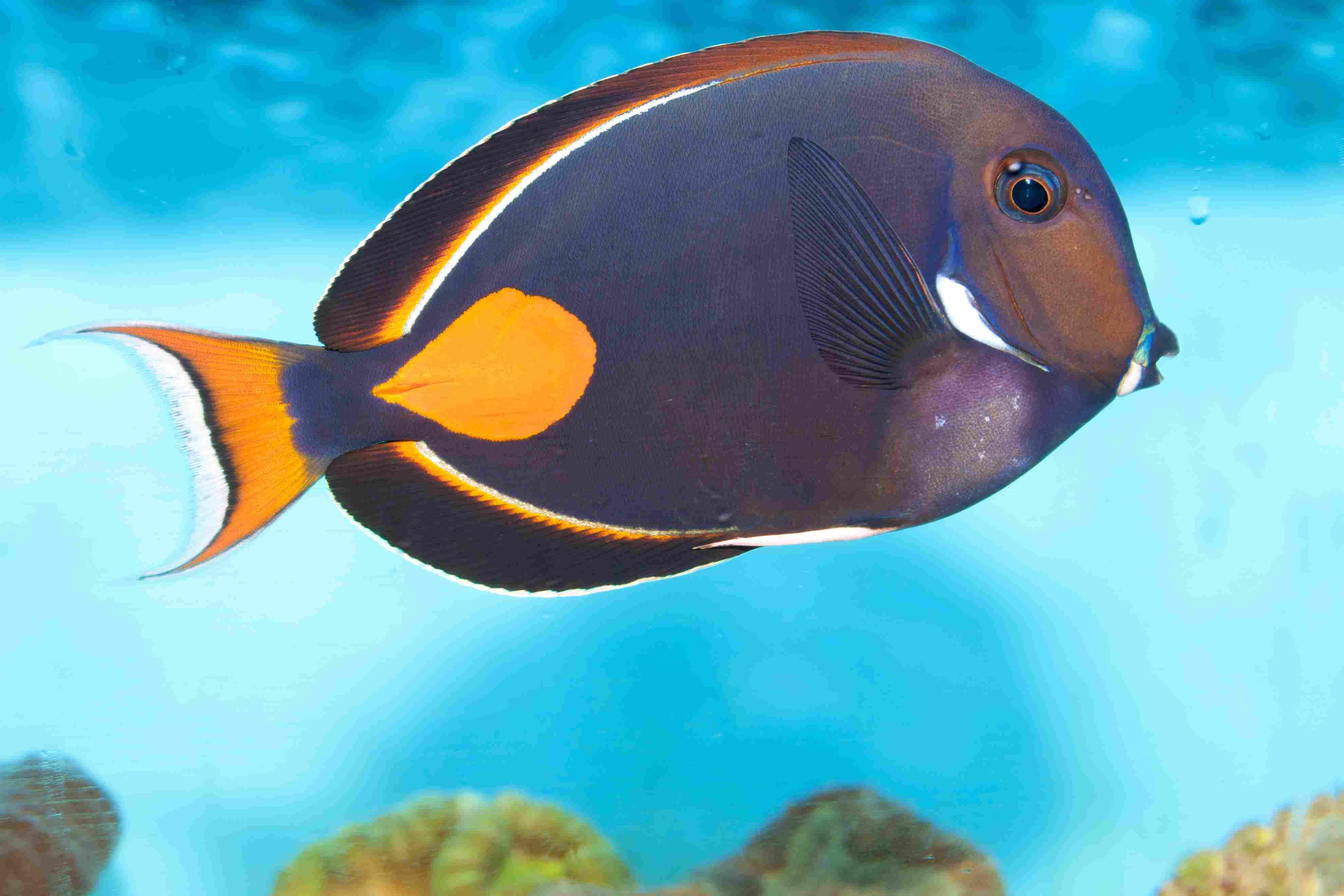 Achilles Tang or Surgeon Fish