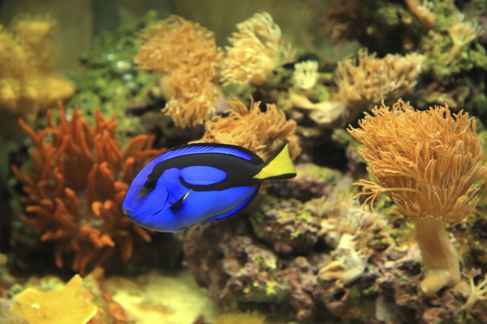 A blue tang in a saltwater aquarium