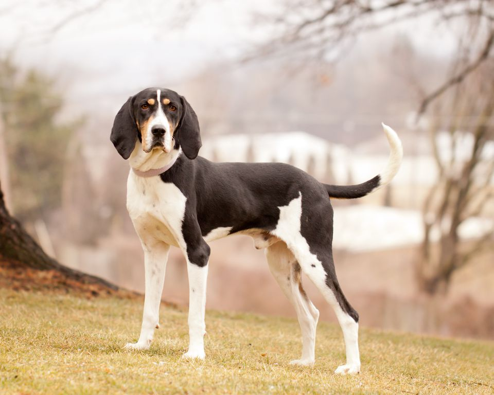Alerta Treeing Walker Coon Hounds