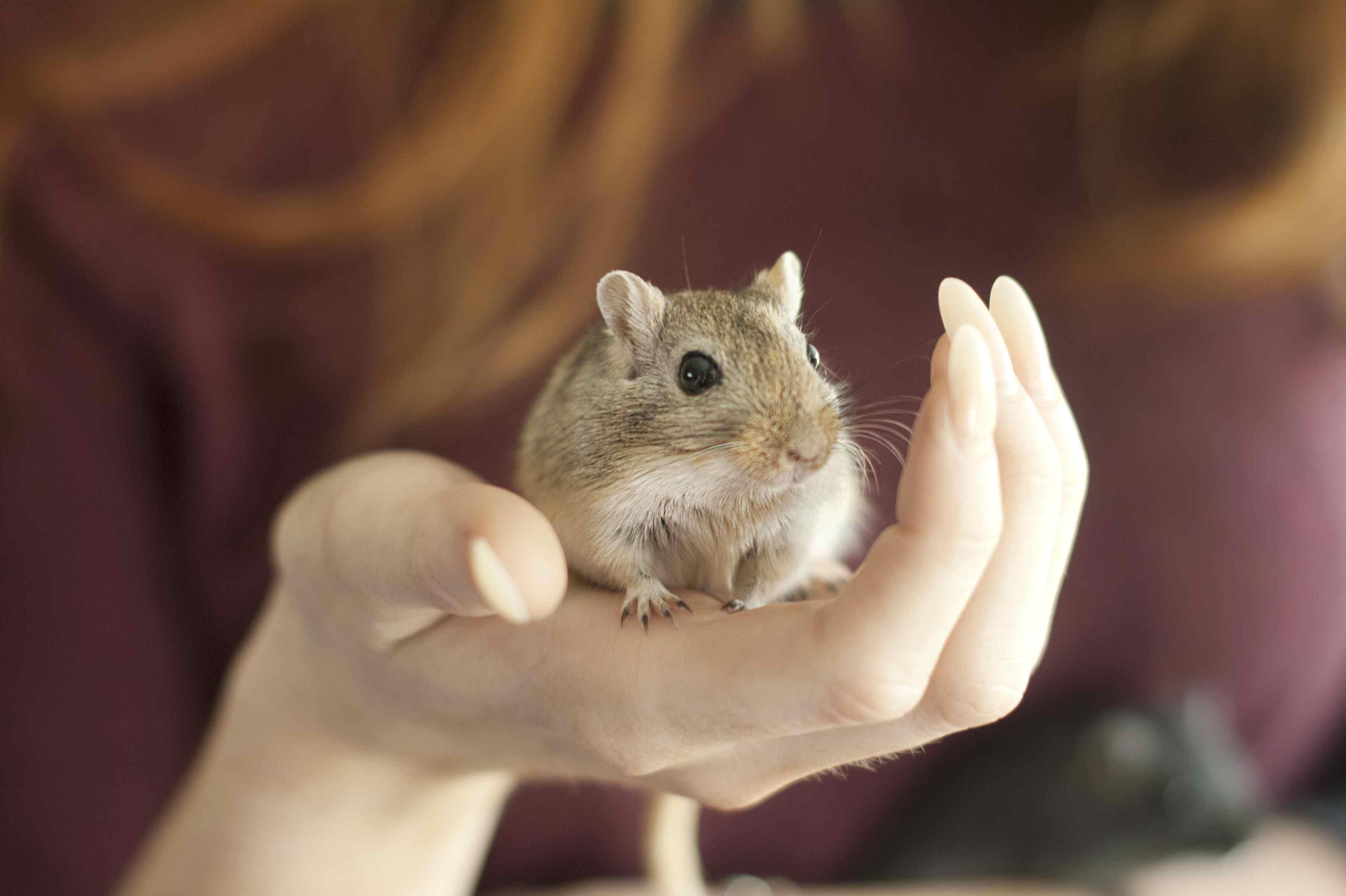 Pet Gerbil in Hand