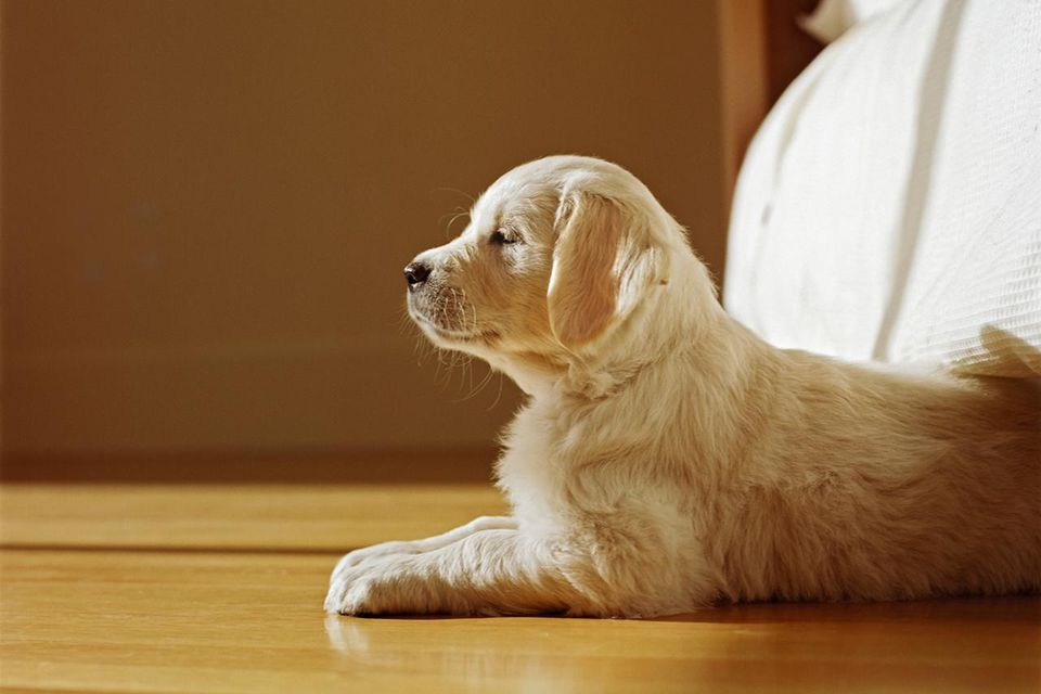 Golden Retriever puppy sitting by bed, side view