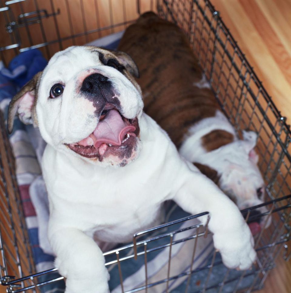 Puppy in crate at a Kennel