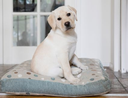 White labrador puppy sitting on spotted dog bed