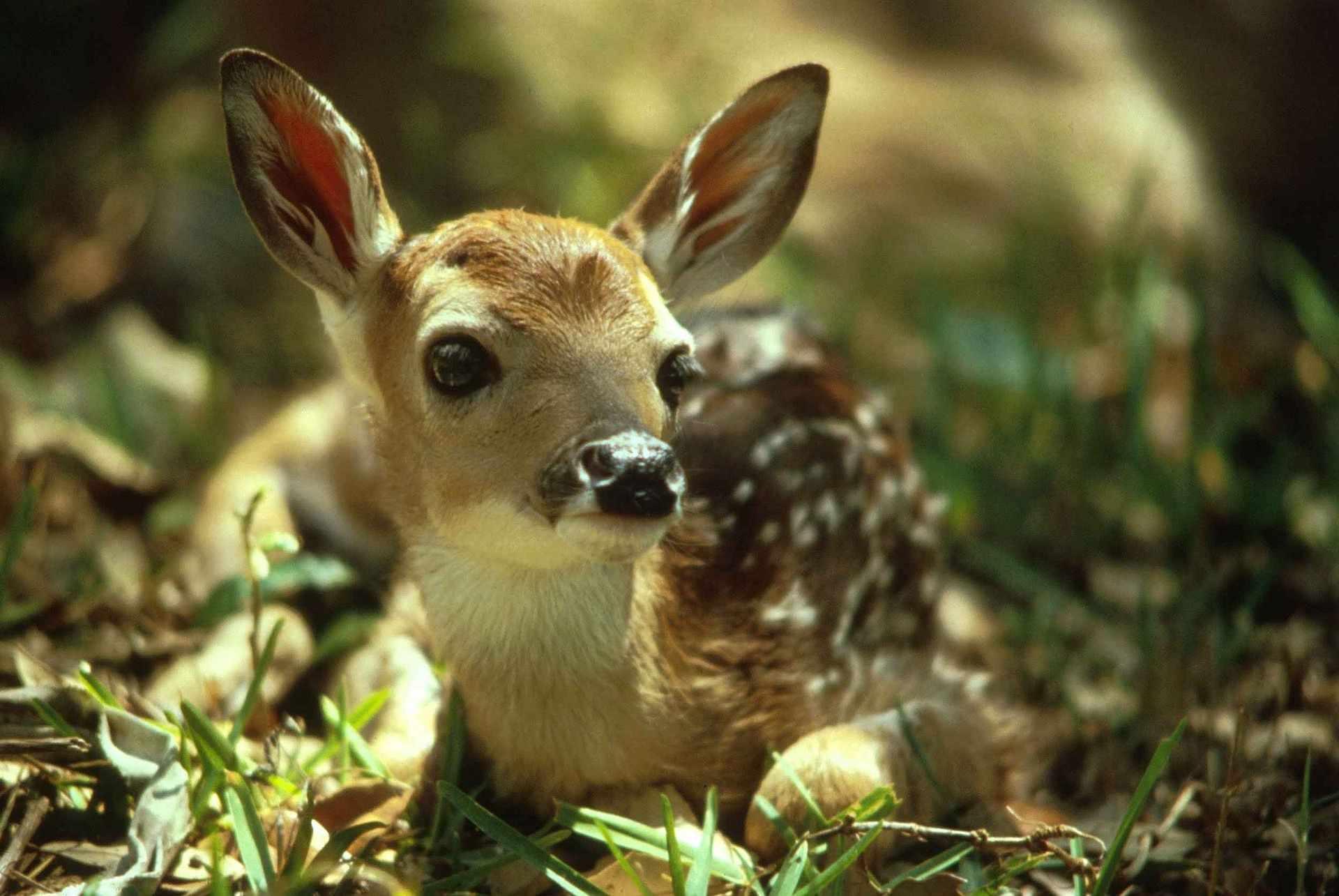 Un ciervo bebé