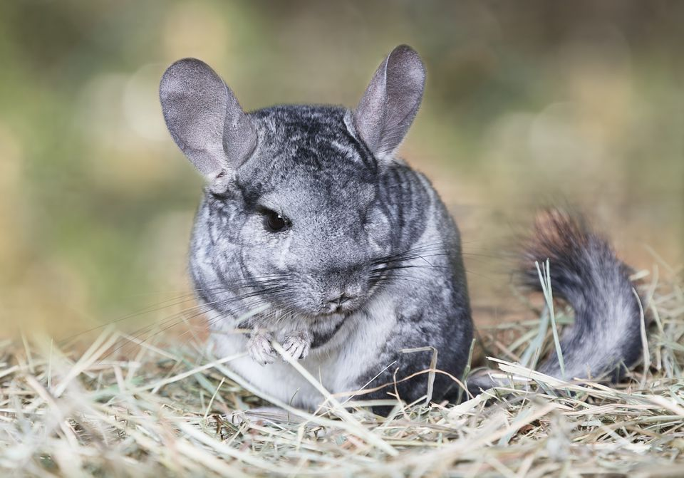 Grey chinchilla outdoors