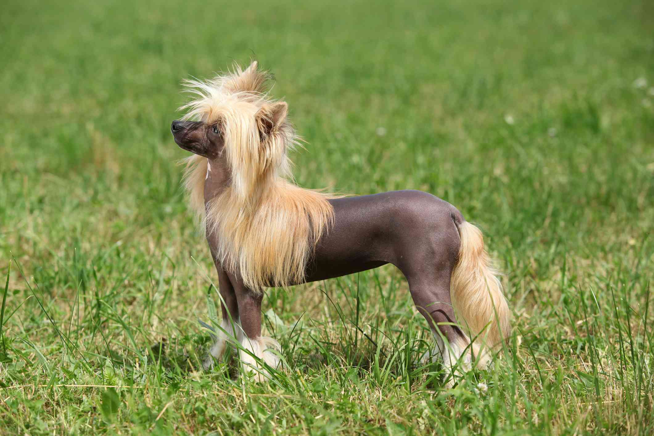 A small dog with gray skin on a hairless body and voluminous white hair on its head, feet, and tail standing in the grass.