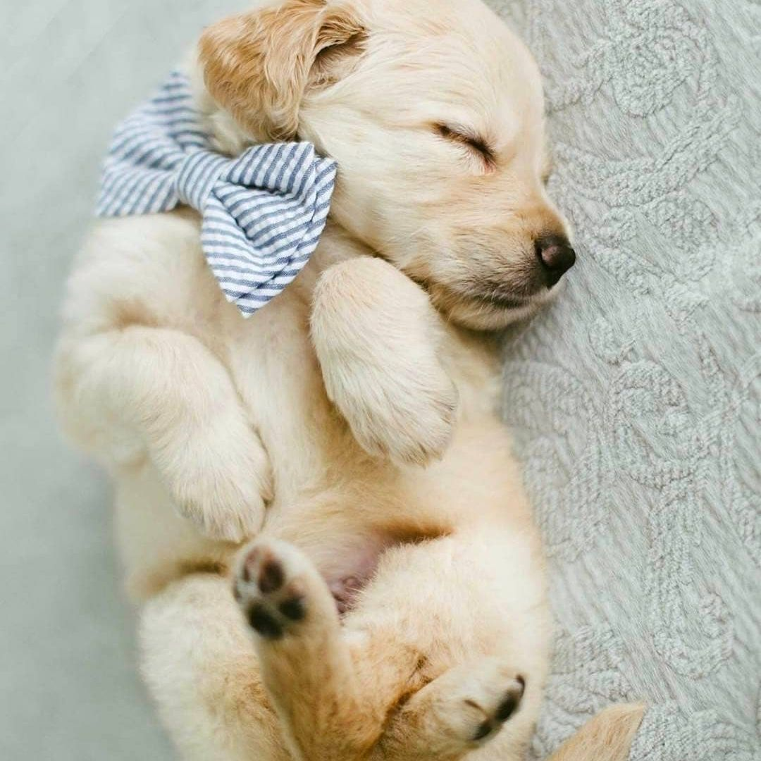 Golden retriever puppy curled up while sleeping