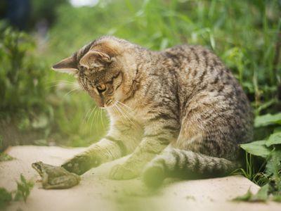Abyssinian Cat Breeds Az