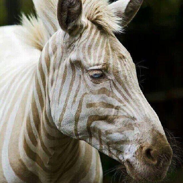 A close-up of a blonde zebra.