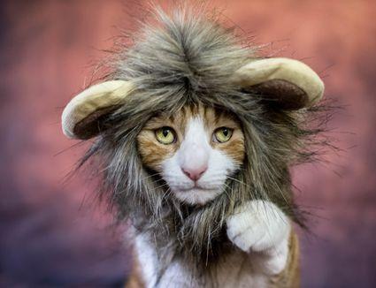 Cat in lion costume
