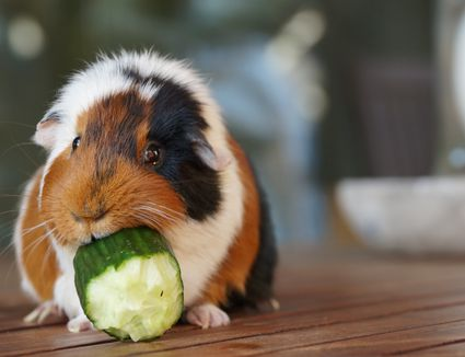 Does Guinea Pigs Food Hurt Dogs