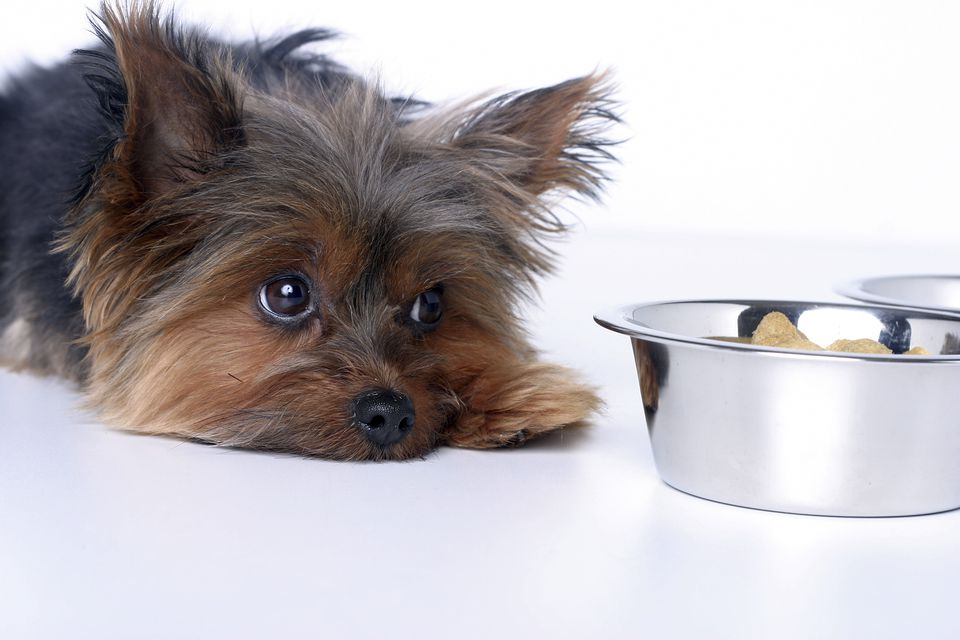 Small dog laying down next to a food bowl