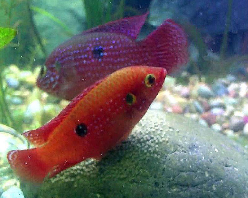 Jewel Fish Guarding Eggs