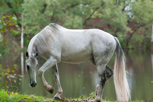 Grey Orlov Trotter in a pasture in front of a lake, preparing to lie down