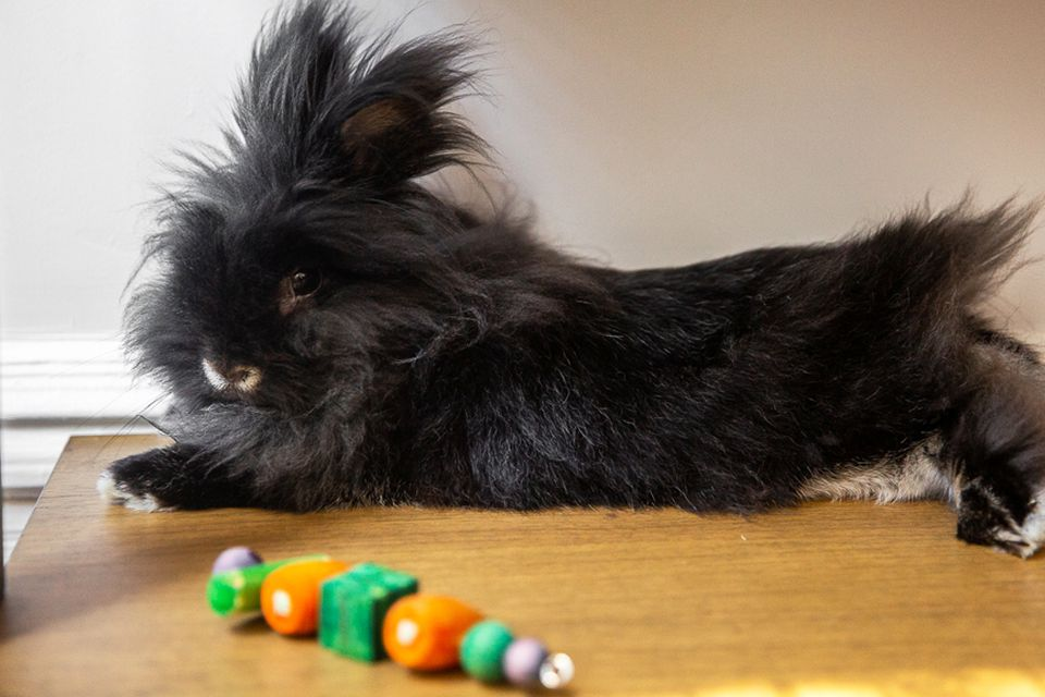 Black bunny with long fluffy hair laying behind toy