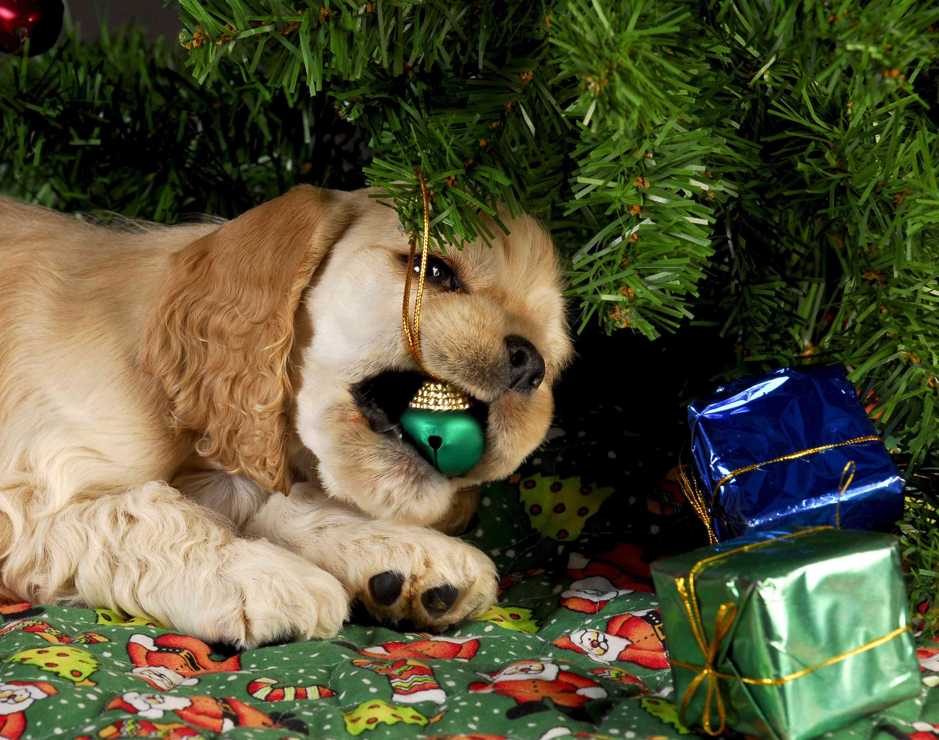 A puppy with a Christmas tree ornament in its mouth