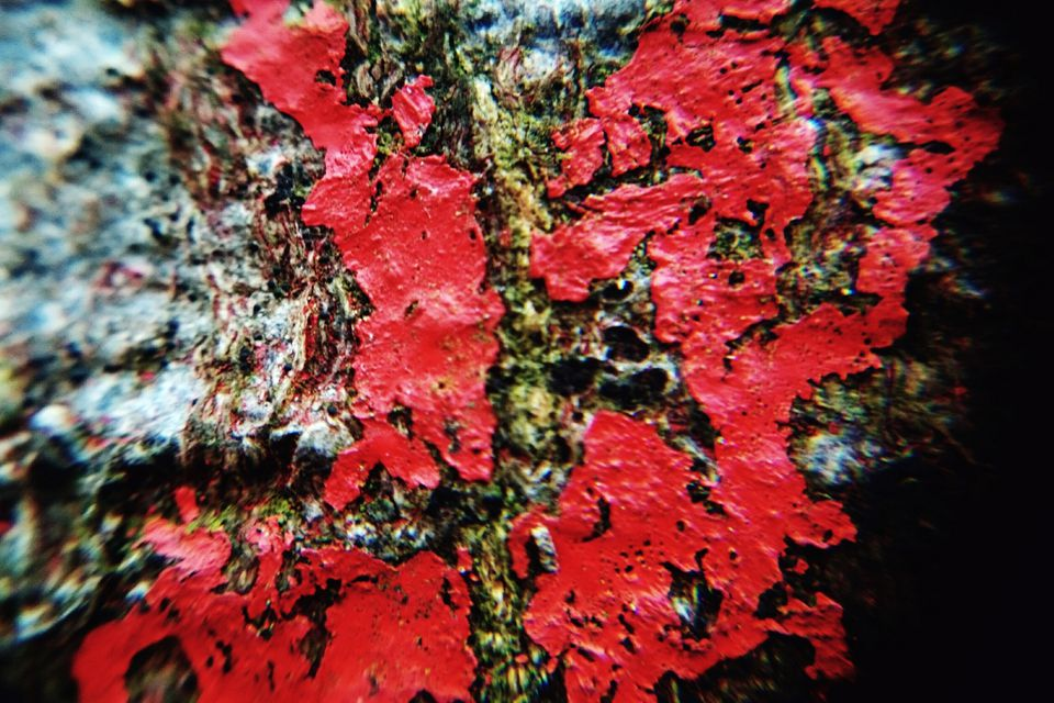 Red slime algae