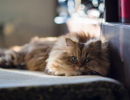 Brown persian cat relaxing on carpet