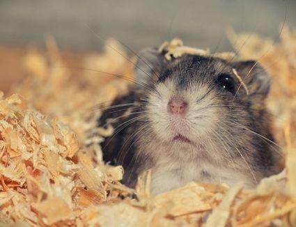 hamster in nesting material