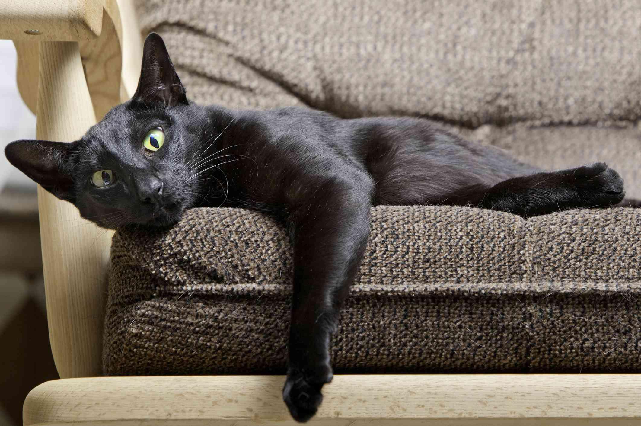 Black oriental shorthair in chair