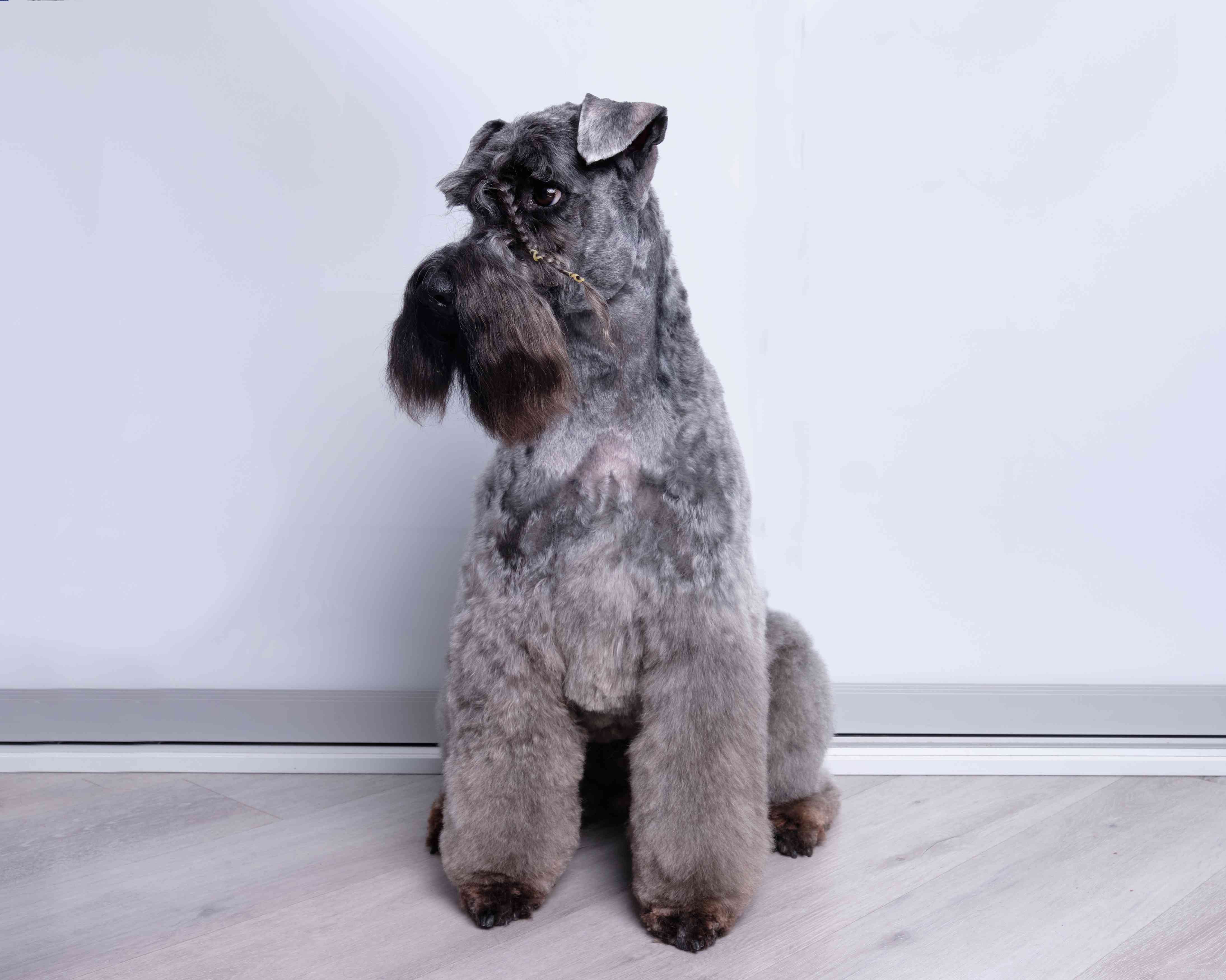 Kerry blue terrier show dog after grooming demonstrates his haircut. breed representative