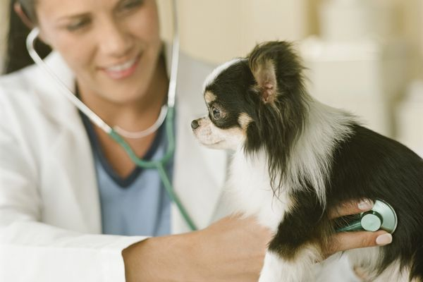 Vet using a stethoscope to listen to a dog's heart.