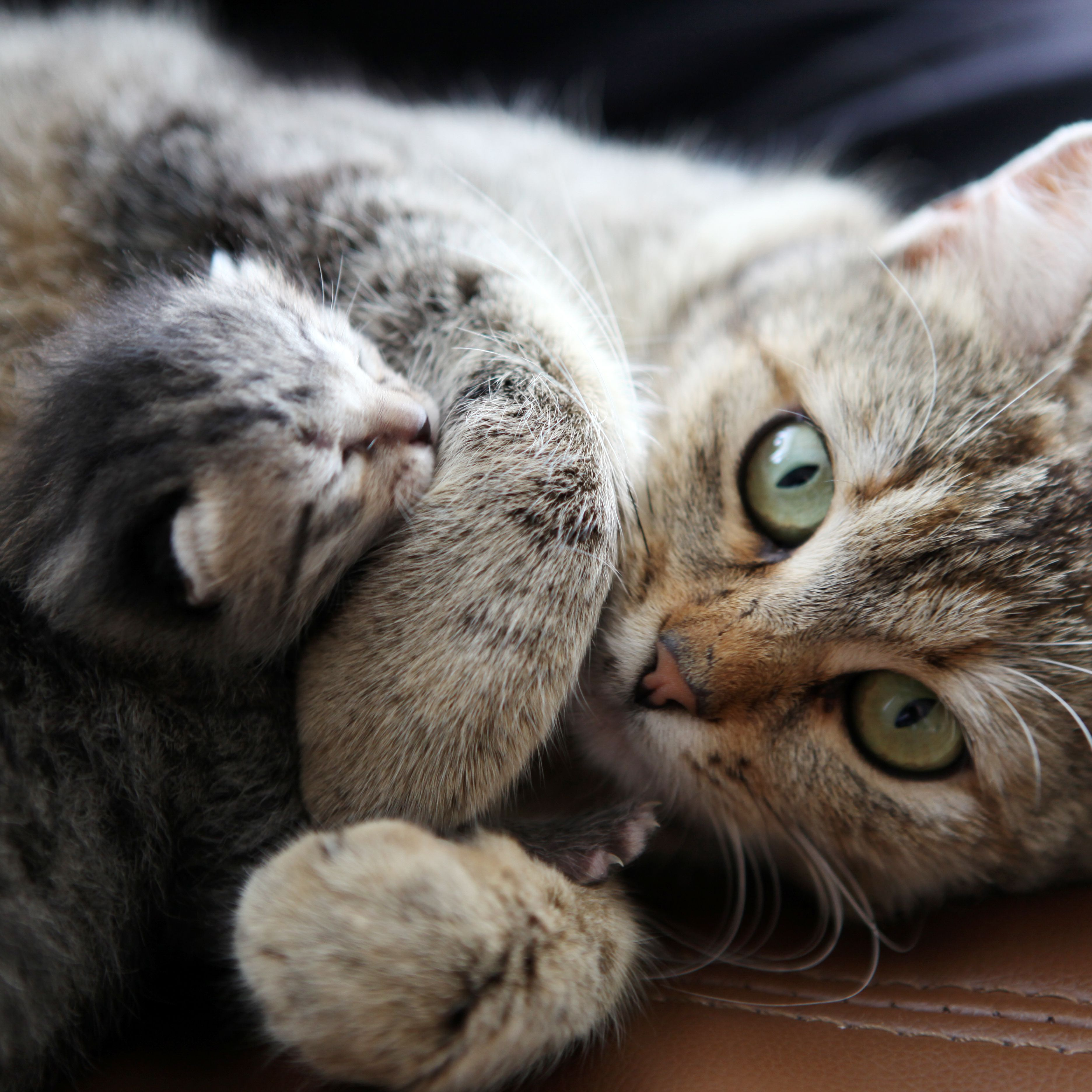 Cat Pregnancy Stages