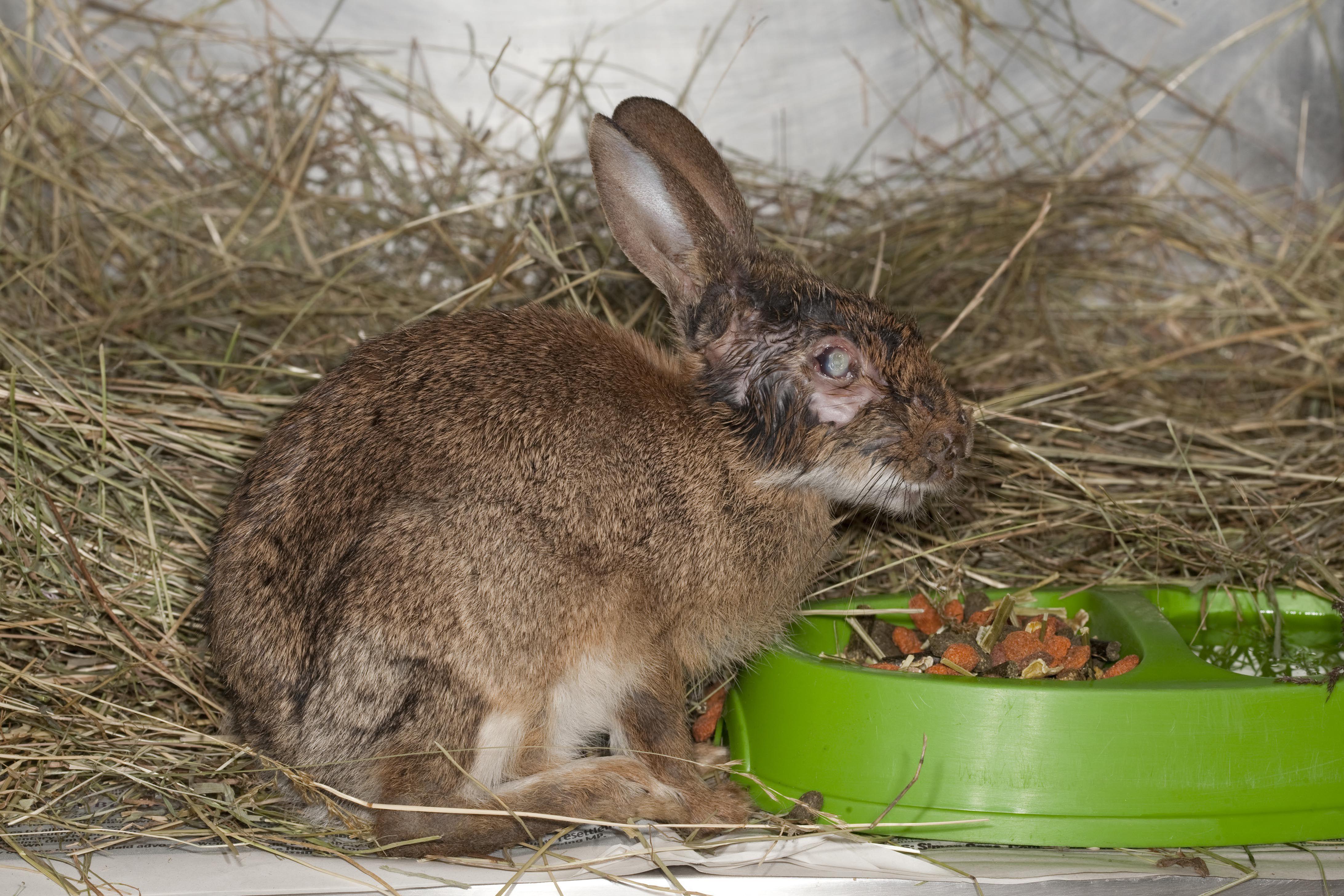 Rabbit (Oryctolagus cuniculus) recovering from Myxomatosis, feeding, UK