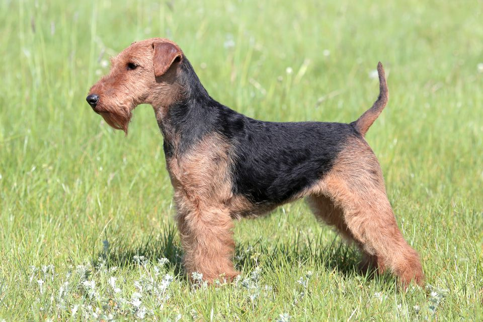 Welsh Terrier standing in a meadow