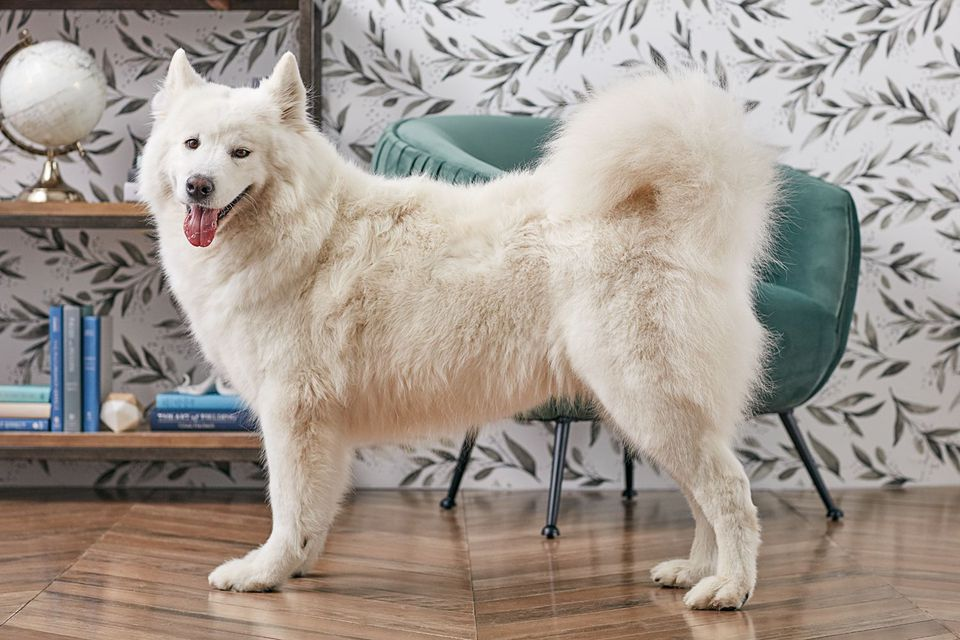Samoyed dog standing indoors in profile