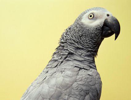African gray parrot (Psitticus sp.)