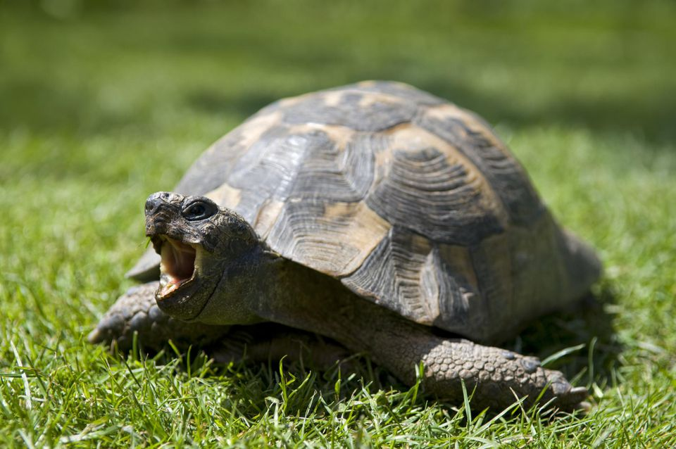 An adult pet tortoise in garden with open mouth