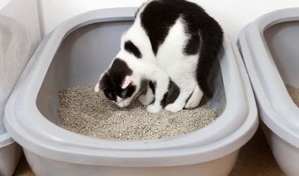 cat eating litter