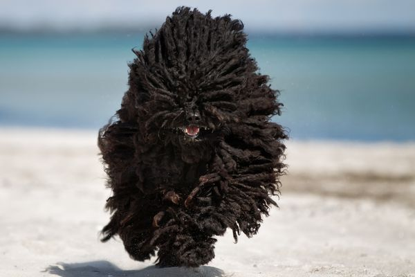 Pumi dog running on beach