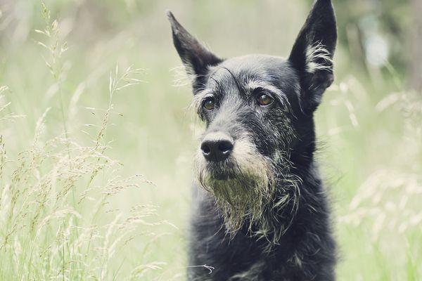 senior dog in field