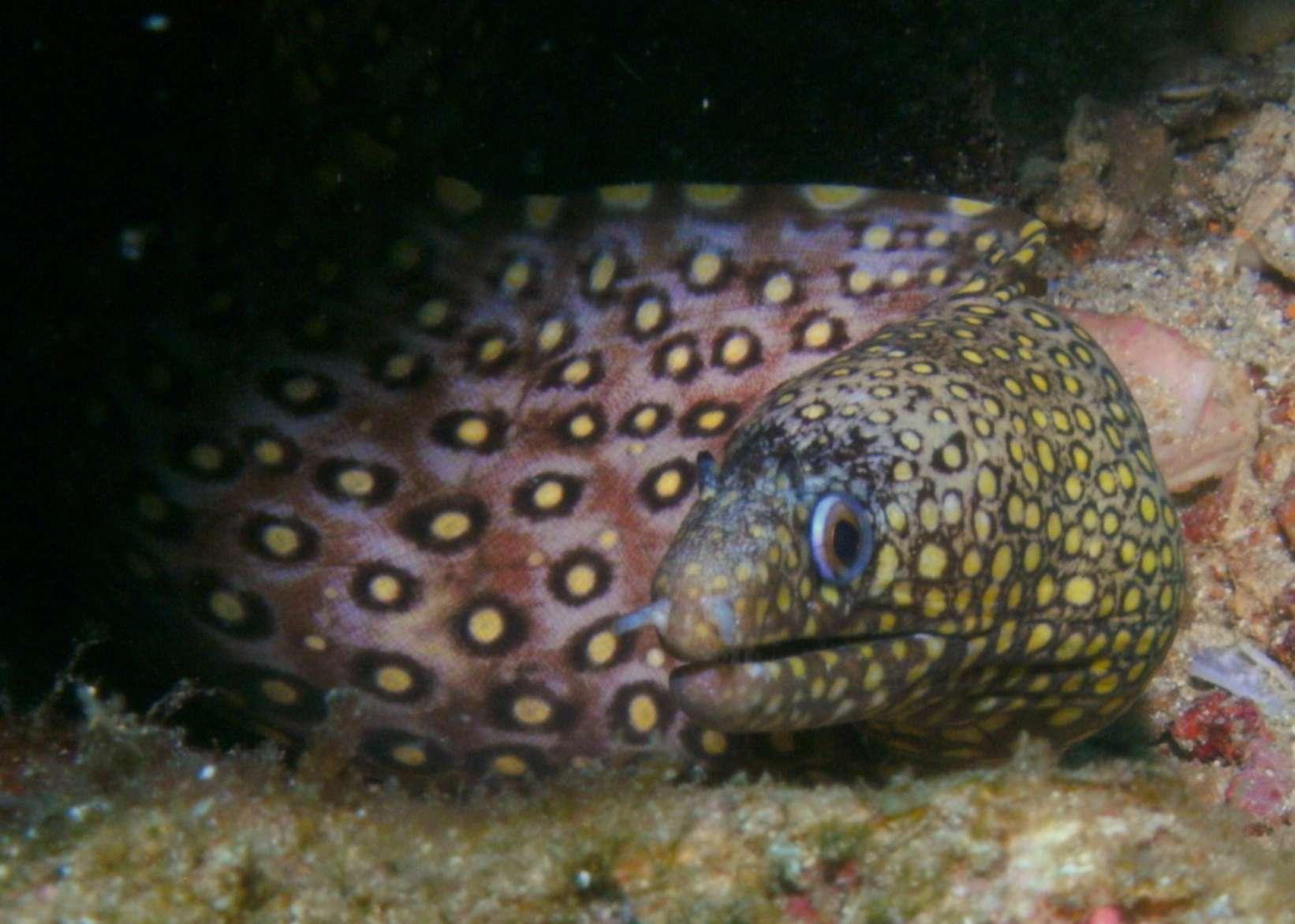 Jeweled Moray Eel