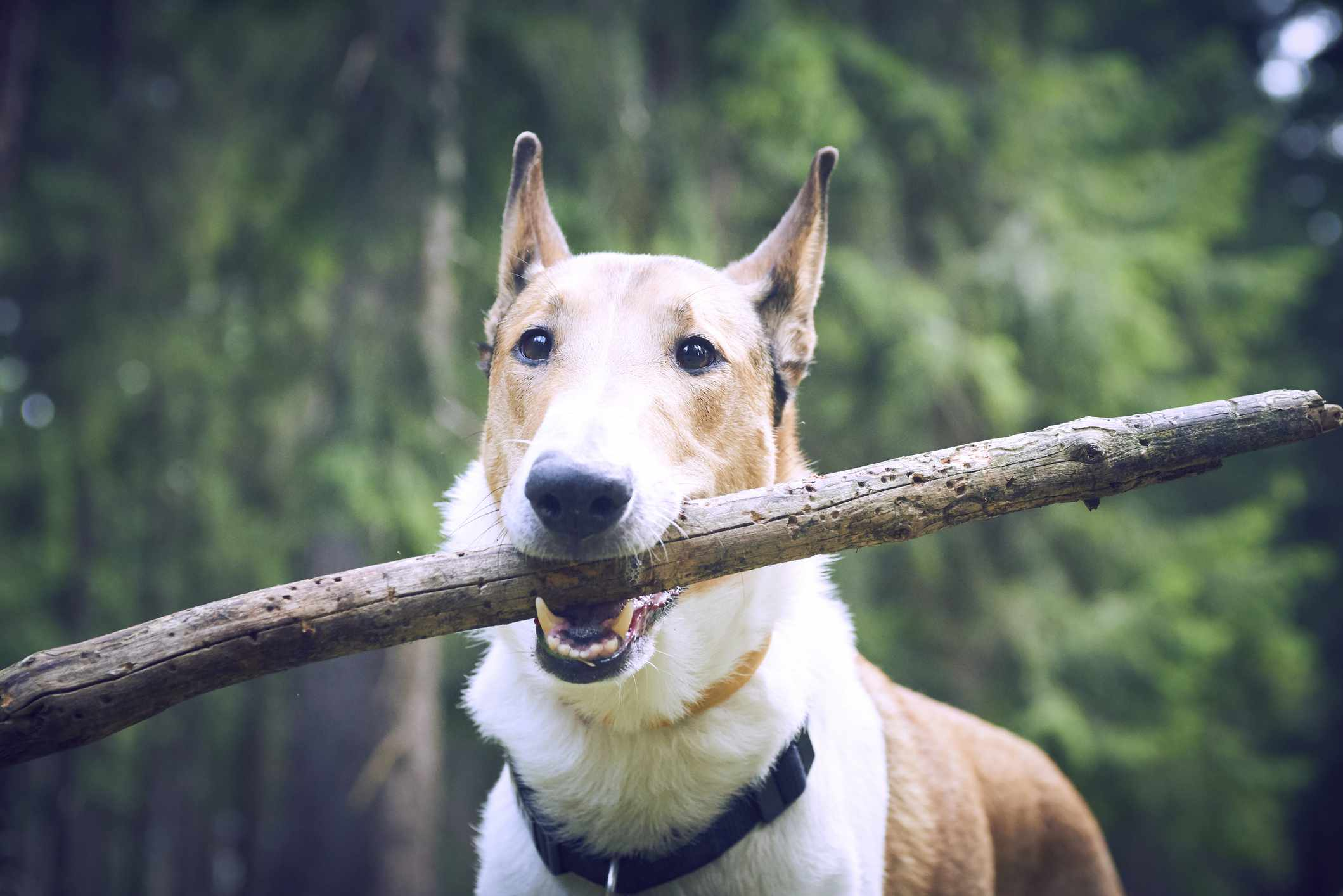 Smooth collie with stick in its mouth