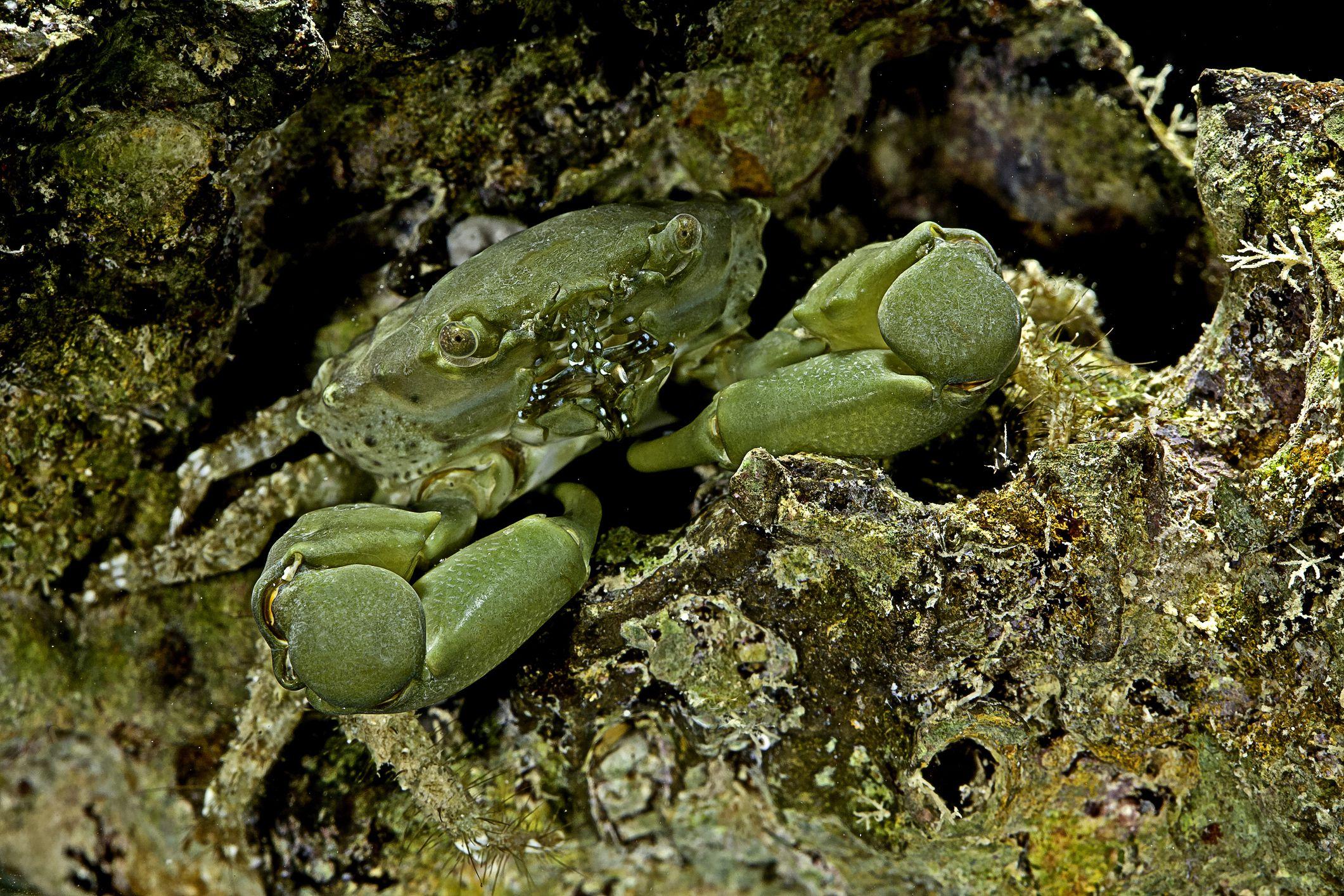 Mithraculus sculptus (green clinging crab)