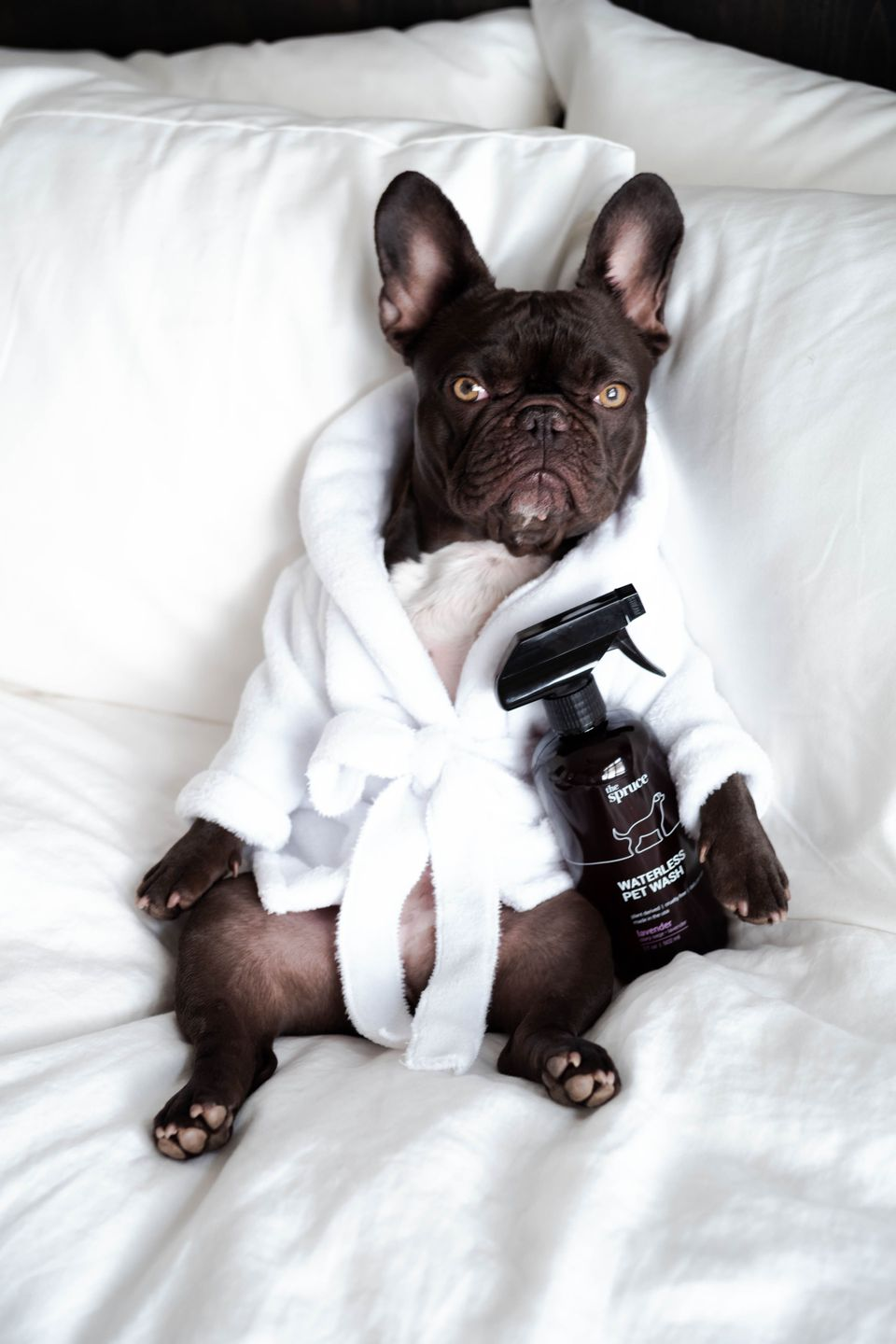 French bulldog in a bathrobe with Waterless Pet Wash