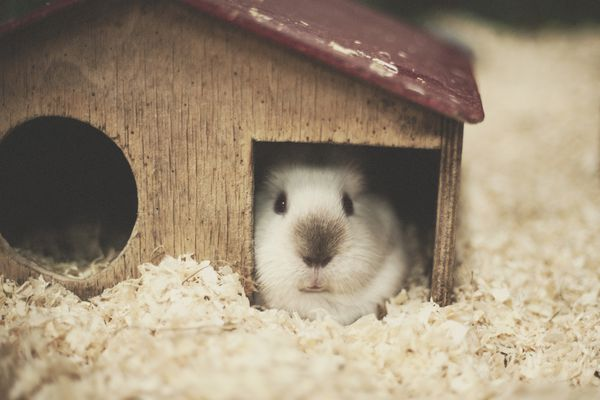 Guinea pig in a house