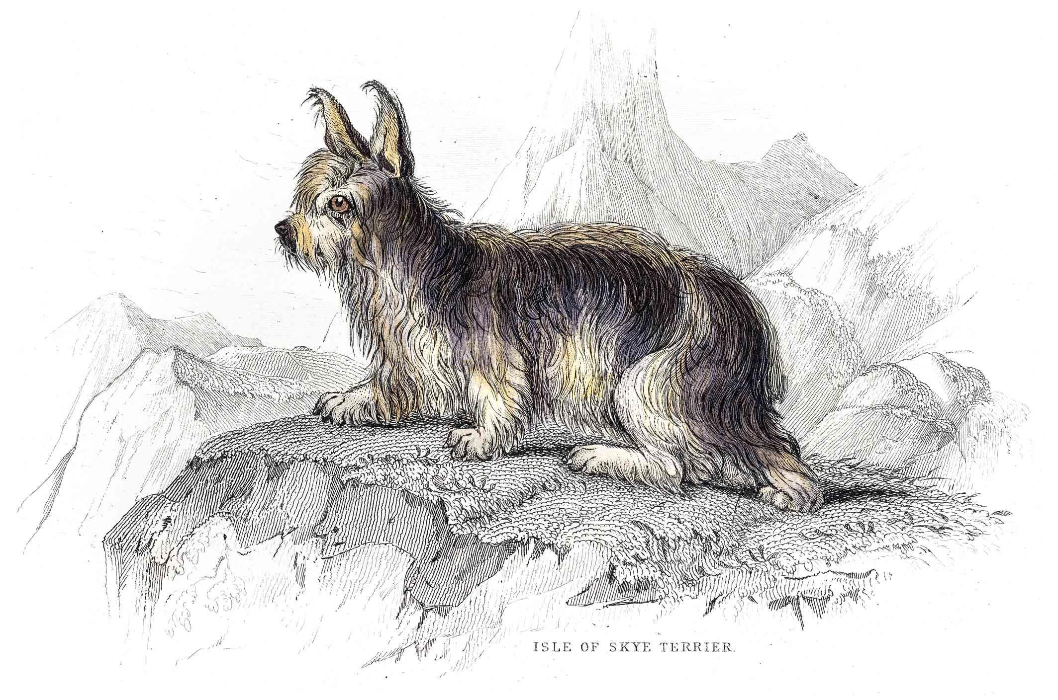 Illustration of Skye Terrier from William Jardine's