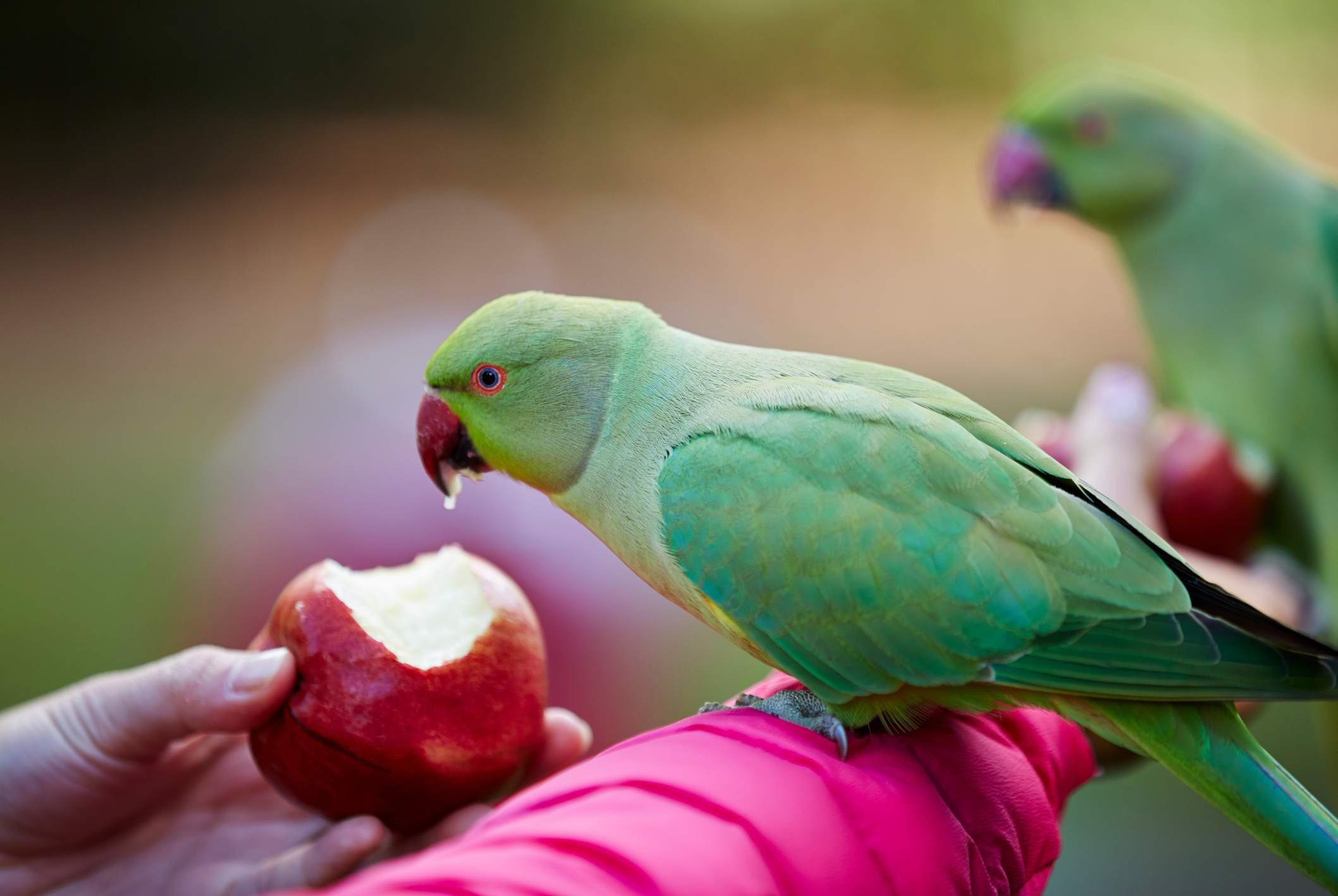 Feeding parrot an apple