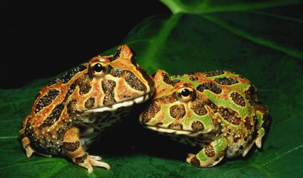 Pacman frogs or Ornate horned frogs (Ceratophys ornata) on leaf, close-up