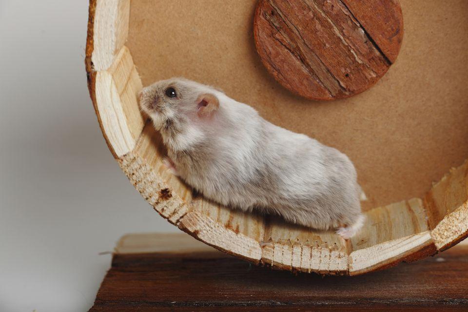Campbells Dwarf Hamster running in bogie wheel