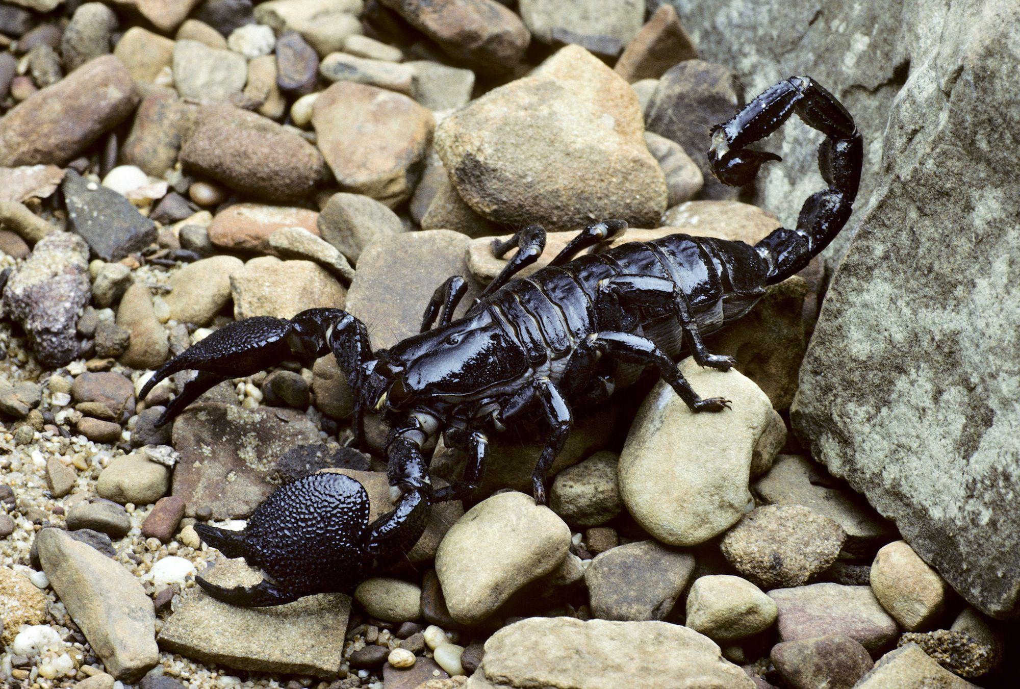 Scorpion Anatomy - The Basics