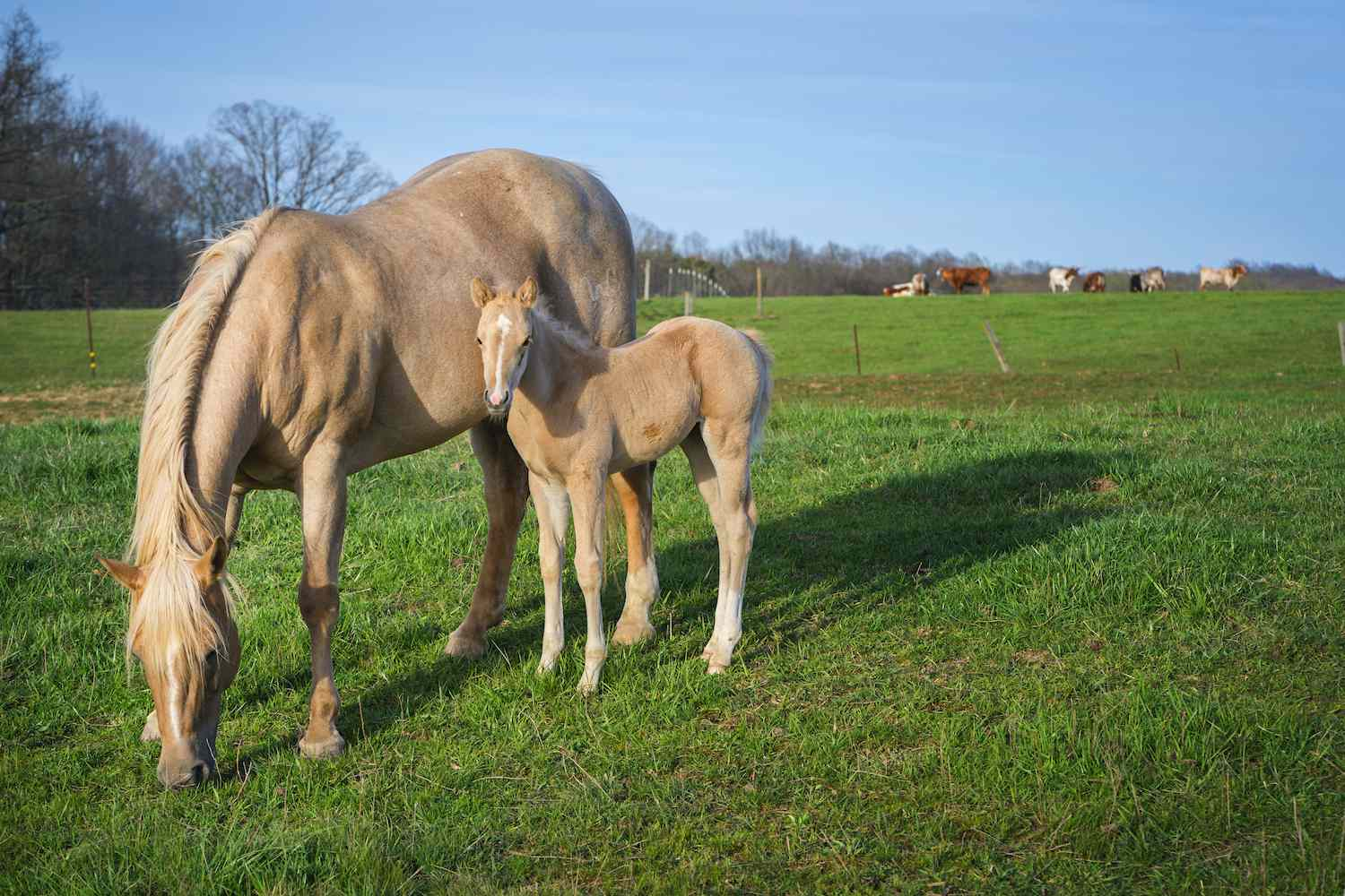 an american quarter horse with foal